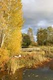 Λεύκες στους μήνες πτώσης Στοκ Φωτογραφίες