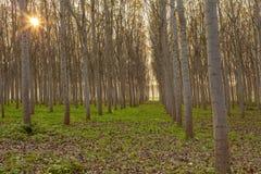 Λεύκες στο δάσος σε ένα ηλιοβασίλεμα φθινοπώρου Στοκ φωτογραφίες με δικαίωμα ελεύθερης χρήσης