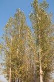 Λεύκες το φθινόπωρο Στοκ εικόνα με δικαίωμα ελεύθερης χρήσης