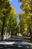 λεύκες φθινοπώρου Στοκ εικόνες με δικαίωμα ελεύθερης χρήσης