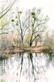 Λεύκωμα Viscum στο δέντρο Στοκ Φωτογραφίες