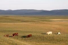 λιβάδια βοοειδών στοκ εικόνες