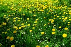 Λιβάδι άνοιξη με τα κίτρινα λουλούδια - πικραλίδα Τοποθετημένος μέσα στη χλόη πολλαπλάσια και ενιαία λουλούδια 17 Στοκ Εικόνες