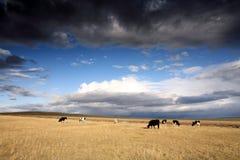 λιβάδι βοοειδών Στοκ Εικόνες