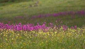 Λιβάδι βουνών με το άγριο λουλούδι στοκ φωτογραφία με δικαίωμα ελεύθερης χρήσης