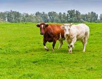 λιβάδι δύο αγελάδων Στοκ εικόνες με δικαίωμα ελεύθερης χρήσης