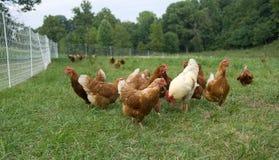 λιβάδι κοτόπουλων που α& Στοκ φωτογραφίες με δικαίωμα ελεύθερης χρήσης