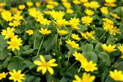 Λιβάδι λουλουδιών, κίτρινα λουλούδια άνοιξη σε ένα καθάρισμα της πράσινης χλόης στοκ φωτογραφίες