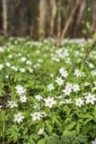 Λιβάδι λουλουδιών Anemone στο δάσος Στοκ φωτογραφία με δικαίωμα ελεύθερης χρήσης