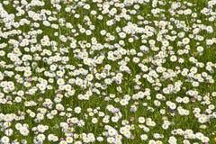 λιβάδι μαργαριτών Στοκ Φωτογραφίες