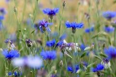 Λιβάδι με μερικά μπλε άνθη αστέρων φθινοπώρου στοκ εικόνες