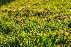 Λιβάδι με την πράσινη χλόη στις ακτίνες του ήλιου ρύθμισης Στοκ εικόνα με δικαίωμα ελεύθερης χρήσης
