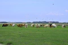 Λιβάδι με τις αγελάδες Texel Στοκ φωτογραφία με δικαίωμα ελεύθερης χρήσης