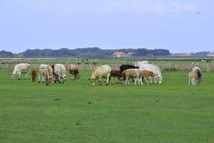 Λιβάδι με τις αγελάδες Texel στοκ εικόνα με δικαίωμα ελεύθερης χρήσης