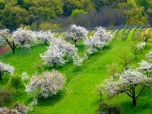 Λιβάδι οπωρωφόρων δέντρων με τα άσπρα ανθίζοντας δέντρα κερασιών Στοκ Φωτογραφία