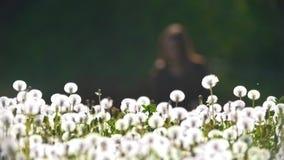 Λιβάδι των πικραλίδων μπροστά από τη θολωμένη θηλυκή σκιαγραφία απόθεμα βίντεο
