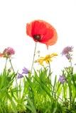 Λιβάδι Wildflower με την παπαρούνα, το τριφύλλι και arnica Μοντάνα, άσπρο β Στοκ φωτογραφίες με δικαίωμα ελεύθερης χρήσης