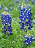 Λιβάδι Wildflower Bluebonnet στοκ εικόνες