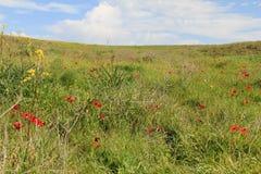 Λιβάδι άνοιξη με την άνθηση των κόκκινων λουλουδιών anemones Στοκ φωτογραφίες με δικαίωμα ελεύθερης χρήσης