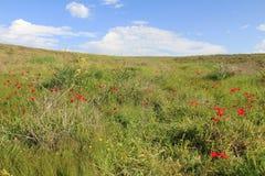 Λιβάδι άνοιξη με την άνθηση των κόκκινων λουλουδιών anemones Στοκ εικόνες με δικαίωμα ελεύθερης χρήσης