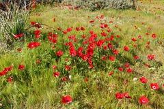 Λιβάδι άνοιξη με την άνθηση των κόκκινων λουλουδιών anemones Στοκ Φωτογραφίες
