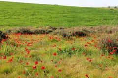 Λιβάδι άνοιξη με την άνθηση των κόκκινων λουλουδιών anemones Στοκ Εικόνες