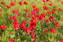 Λιβάδι άνοιξη με την άνθηση των κόκκινων λουλουδιών anemones Στοκ φωτογραφία με δικαίωμα ελεύθερης χρήσης