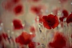 Λιβάδι θερινών παπαρουνών Στοκ φωτογραφία με δικαίωμα ελεύθερης χρήσης