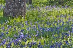 Λιβάδι κινηματογραφήσεων σε πρώτο πλάνο των μπλε camas wildflowers με το δρύινο δέντρο Στοκ Φωτογραφίες