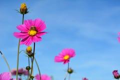 Λιβάδι με τα άγρια ρόδινα και χρωματισμένα πασχαλιά λουλούδια με μια μέλισσα Στοκ Φωτογραφίες