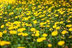 Λιβάδι με τα μέρη των ανθίζοντας κίτρινων πικραλίδων Στοκ εικόνες με δικαίωμα ελεύθερης χρήσης