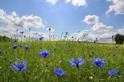 Λιβάδι με τα λουλούδια καλαμποκιού Στοκ Φωτογραφία