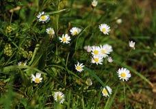 Λιβάδι με τα λουλούδια μαργαριτών Στοκ εικόνες με δικαίωμα ελεύθερης χρήσης