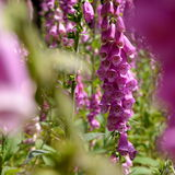 Λιβάδι με τα πορφυρά λουλούδια foxglove Στοκ εικόνα με δικαίωμα ελεύθερης χρήσης