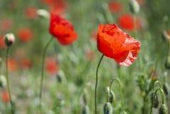 Λιβάδι με τα όμορφα φωτεινά κόκκινα λουλούδια παπαρουνών Στοκ Φωτογραφία