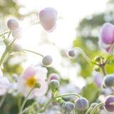 Λιβάδι λουλουδιών άνοιξη - άσπρα και ρόδινα λουλούδια anemone Στοκ Εικόνες