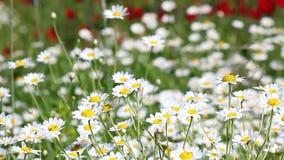 Λιβάδι λουλουδιών Chamomile φιλμ μικρού μήκους
