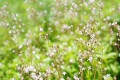 Λιβάδι πολλών άσπρο μικρό λουλουδιών Στοκ εικόνα με δικαίωμα ελεύθερης χρήσης