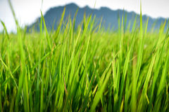 Λιβάδι ρυζιών Στοκ Εικόνα