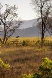 Λιβάδι της Σουαζιλάνδης με το με ραβδώσεις, άδυτο άγριας φύσης Mlilwane Στοκ Εικόνα