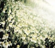 Λιβάδι της Daisy Στοκ φωτογραφία με δικαίωμα ελεύθερης χρήσης