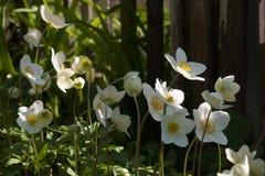 Λιβάδι των άσπρων anemones στο δάσος Στοκ Φωτογραφία