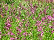 Λιβάδι Chamerion Angustifolium Fireweed Rosebay ιτιά-χορταριών Στοκ Φωτογραφίες