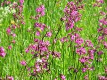 Λιβάδι Chamerion Angustifolium Fireweed Rosebay ιτιά-χορταριών Στοκ φωτογραφία με δικαίωμα ελεύθερης χρήσης