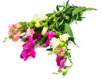 Λιβάδι Wildflower Antirrhinum στο λευκό Στοκ Εικόνες