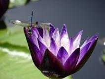 Λιβελλούλη που ερευνά μια πορφύρα waterlily στοκ φωτογραφία με δικαίωμα ελεύθερης χρήσης