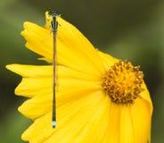 Λιβελλούλες (damselflies) Στοκ Εικόνες