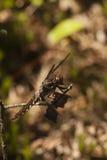 Λιβελλούλη αποβουτυρωτών Whitetail - lydia Plathemis στοκ εικόνες