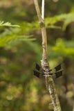 Λιβελλούλη αποβουτυρωτών Whitetail - lydia Plathemis στοκ φωτογραφίες