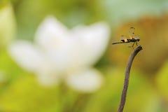 Λιβελλούλη και το χαμένο λουλούδι Στοκ Εικόνες